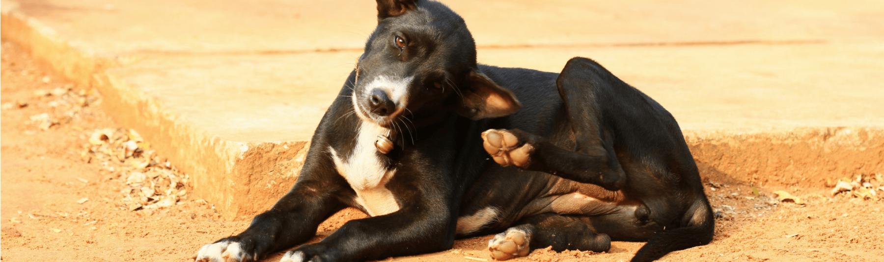 Dog Fleas and Ticks
