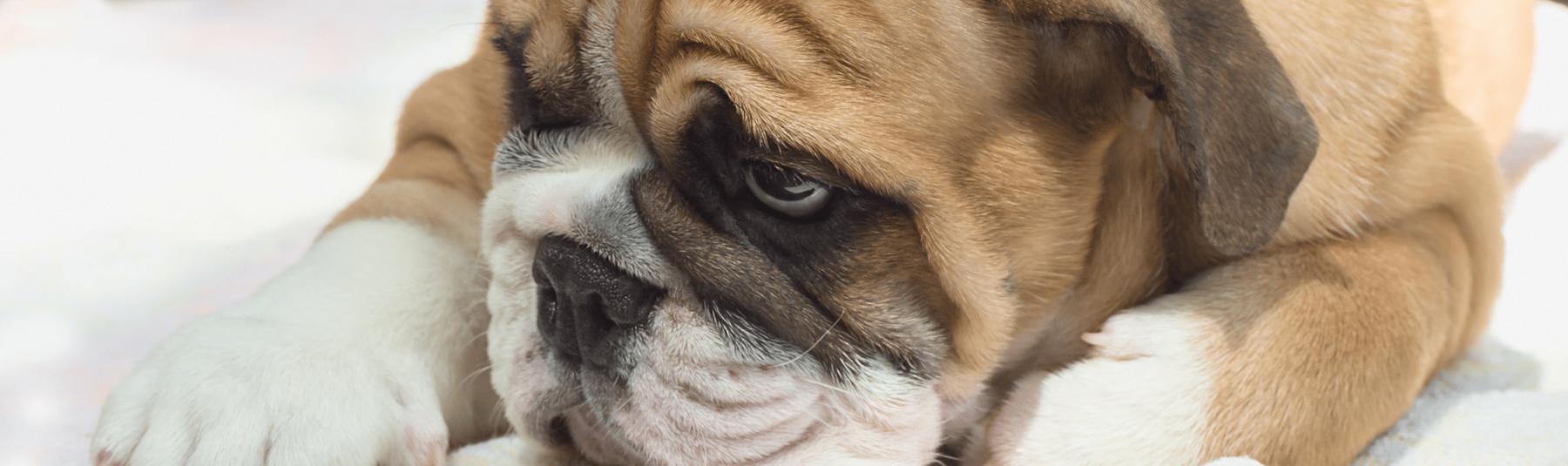 Overweight Dog Help