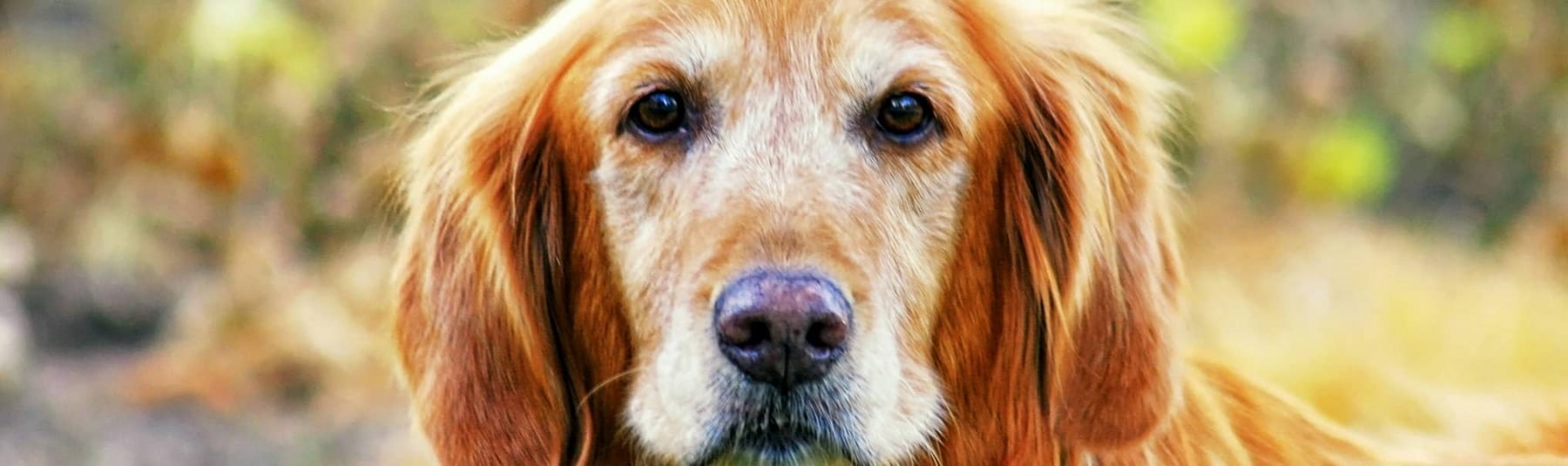 Senior Dog Services